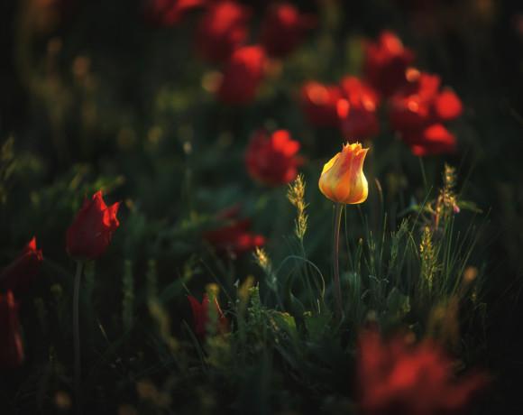 Калмыкия – край цветения тюльпанов