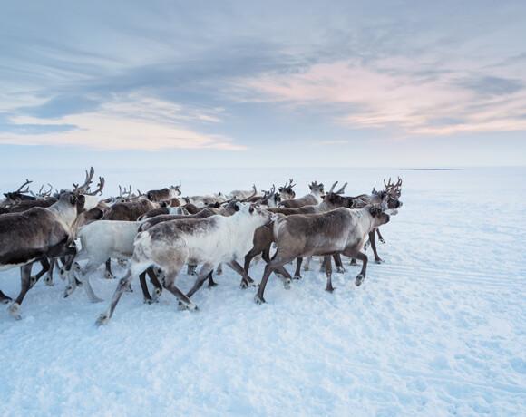 Ненецкий автономный округ. Царство снега и оленей