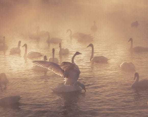 Лебединая песня. Маленькое путешествие к царским птицам Алтая